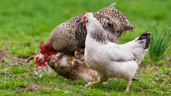 Почему куры клюют друг друга