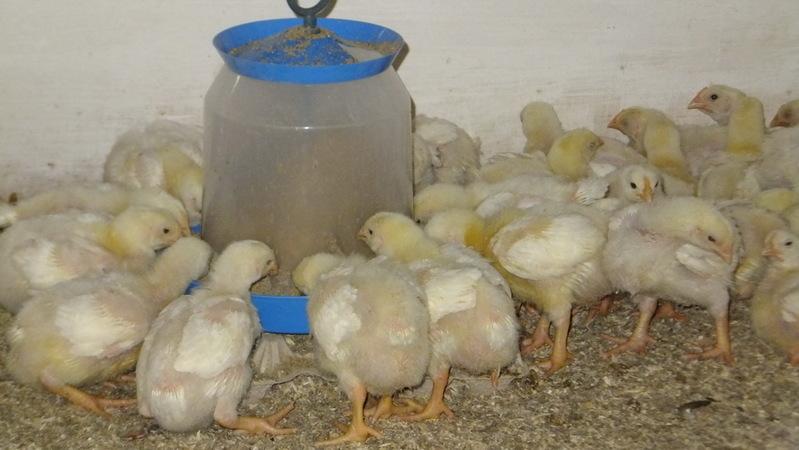 Кормление цыплят-бройлеров в домашних условиях