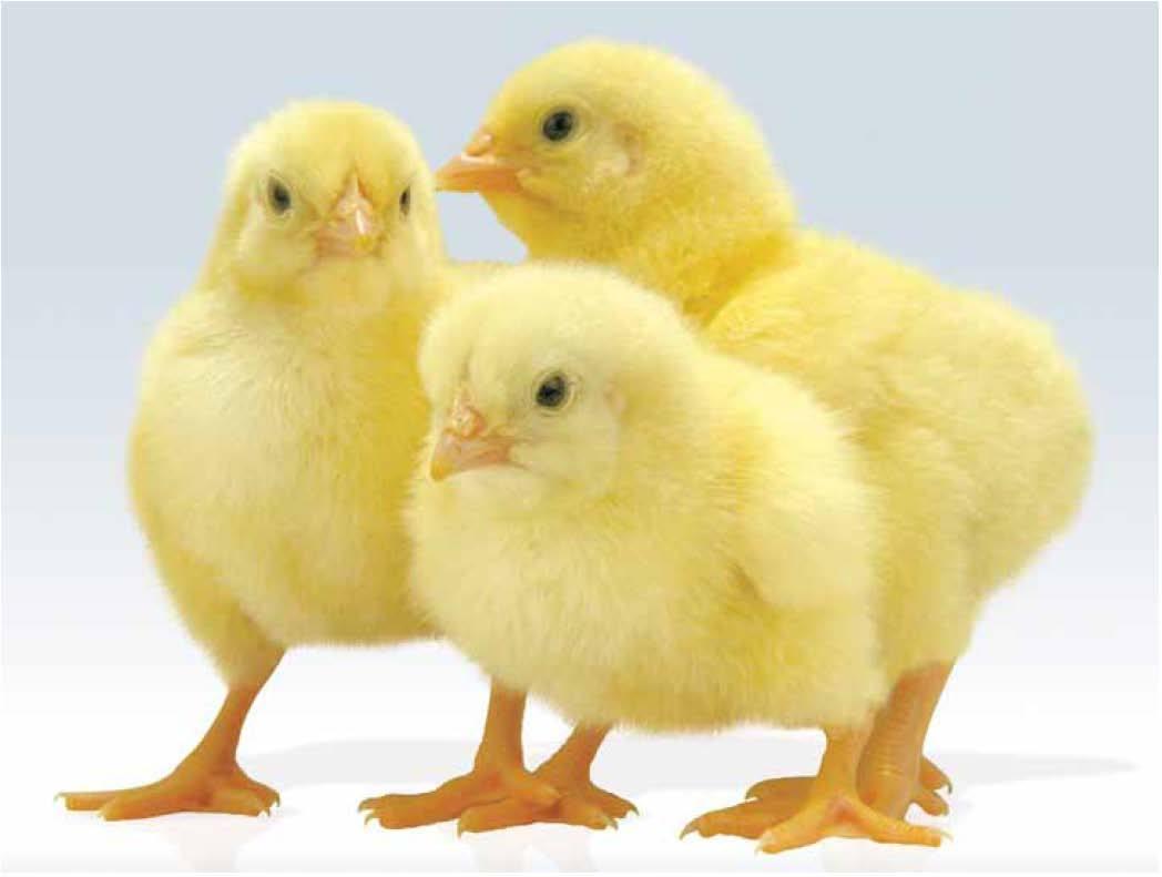 Выращивание цыплят-бройлеров