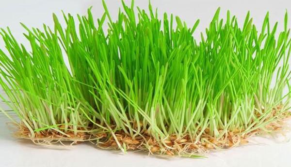Проращивание пшеницы в домашних условиях для кур