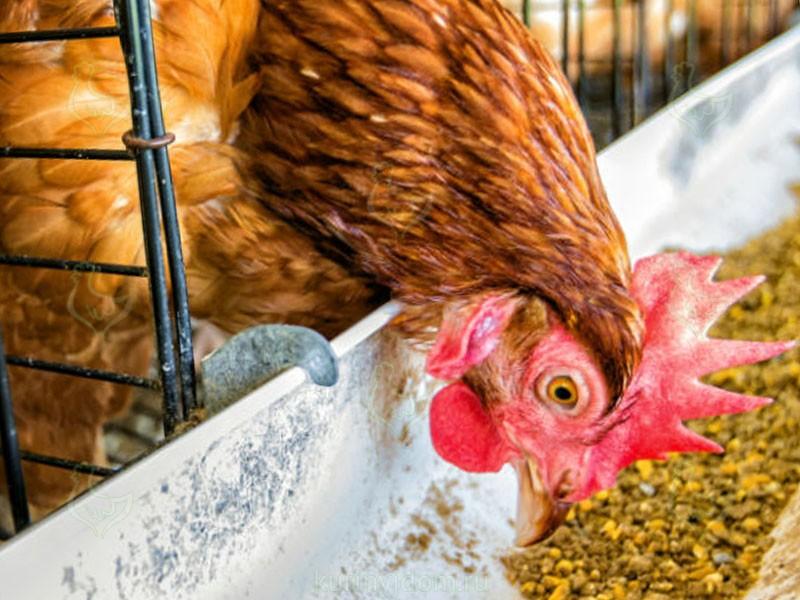 Режим кормления кур
